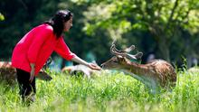 A visitor to the Phoenix Park in Dublin feeds one of the deer in the sunshine yesterday. Photo: Collins