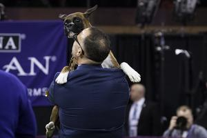 Devlin the Boxer is embraced by her handler Diego Garcia after winning the working group on the final night at the Westminster Kennel Club Dog Show at Madison Square Garden, February 14, 2017 in New York City.