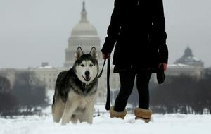 Wolfie, a husky, is walked through the snow near the U.S. Capitol in Washington