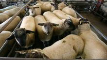 17/5/2018. Loughrea Sheep Mart Lot Number 196 Weight 46.5K Quantity 11 Type Lambs Price €142 Photo Brian Farrell
