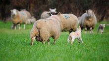 Lambs have been weaned and weighed