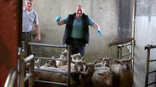Loughrea Mart manager Jimmy Cooney rounding up the lambs. Photo: Hany Marzouk