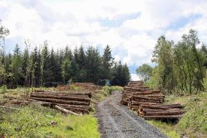 Sitka Spruce being harvested. Picture: Alf Harvey.