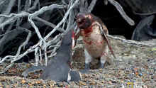 Penguin fight video by the National Geographic  Credit: National Geographic