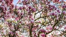 'The blossoms are huge and voluminous, the branches are huge, but the tree never grew in stature.' (stock image)