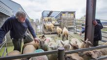 11/4/2019 Loughrea Sheep Mart Michael Conroy from Headford loads up his newly bought Spring Lamb at Loughrea Mart. Photo Brian Farrell