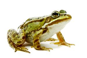 In the century past, cave excavations in Sligo and other places uncovered bones of frogs and lemmings reckoned to be from 10,000 years back