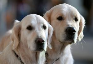 Golden retrievers Lady (left) and Yoda (right) wait outside on day one of Crufts 2015 at the NEC, Birmingham. Picture date: Thursday March 5, 2015. Photo credit should read: Joe Giddens/PA Wire