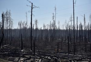 Burned trees are seen after a forest fire outside the settlement of Poliske located in the 30 km (19 miles) exclusion zone around the Chernobyl nuclear power plant. Photo: Reuters