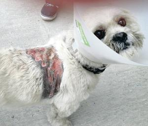 Family dog Fergie who had corrosive liquid poured over its back in a horrific attack in Newcastle, Co Down.