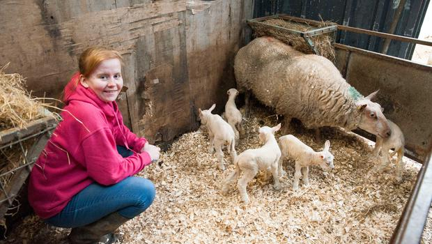 "Sarah Holland pictured with the quintuplet lambs (4 ewes and 1 ram) born on Declan Holland's farm in Blarney, Co. Cork. Described as a 1 in a million occurrence, the first time ""lamber"" gave birth unaided on Sunday morning. Pic Daragh Mc Sweeney/Provision"