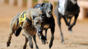 """The Irish Greyhound Board announced on that they will continue to race behind closed doors with a """"one man, one dog"""" directive. (stock photo)"""