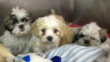 Some of the 116 puppies in the care of the DSPCA. The puppies believed to be between five to eight weeks of age - were discovered in the back of two vans boarding a ferry at Dublin Port for the UK and now in the care by the Dublin Society for the Prevention of Cruelty to Animals (DSPCA). 5/2/2015  Picture by Fergal Phillips.