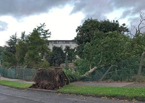 A fallen tree in Cabinteely, County Dublin