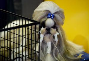 A Shih Tzu sits in the benching area during Day One of competition at the Westminster Kennel Club 141st Annual Dog Show in New York on February 13, 2017.