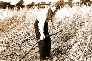 Ulster Harvest circa 1935: a farm labourer at work with a scythe in County Antrim.