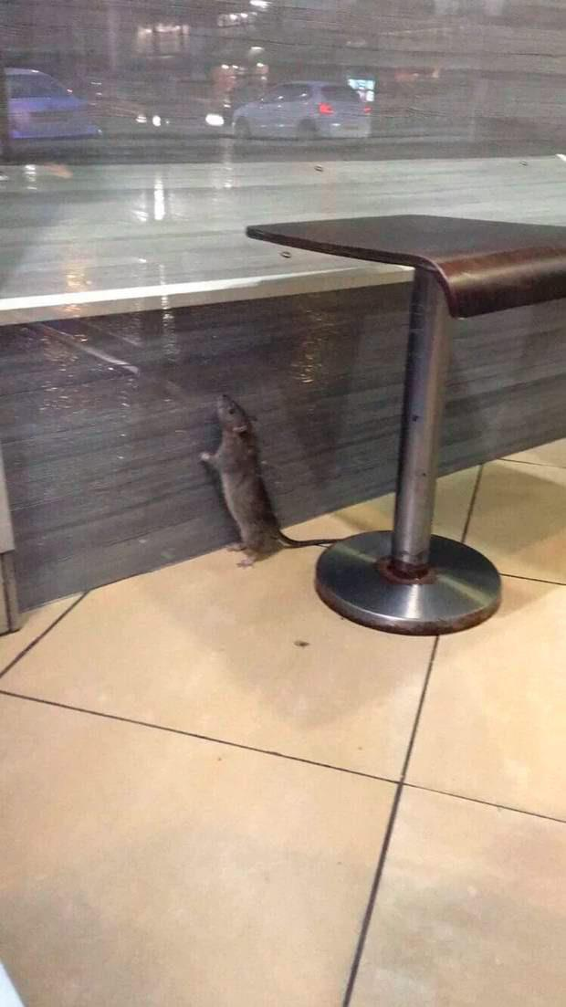 Diners left horrified to see the large rodent running around the floor and sniffing the benches for food