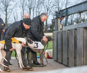 Loading dogs into the stalls as Kilkenny Racetrack introduced morning racing yesterday