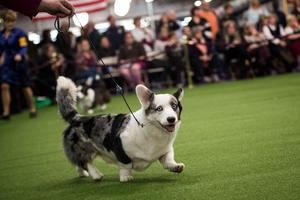 A Pembroke Welsh Corgi runs during competition at the 141st Westminster Kennel Club Dog Show, February 13, 2017 in New York City.