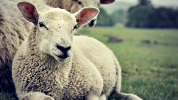 The rising resistance to worm doses is the biggest threat to Irish sheep farmers.
