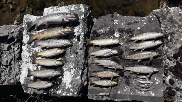 Salmon and trout killed on Ollatrim River