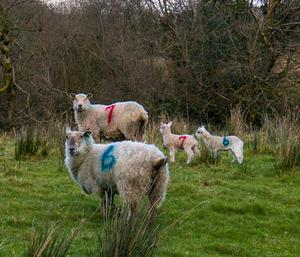 At sixes and sevens... Sheep looking bewildered in Fenagh, Co Leitrim. Photo: Gerry Faughnan