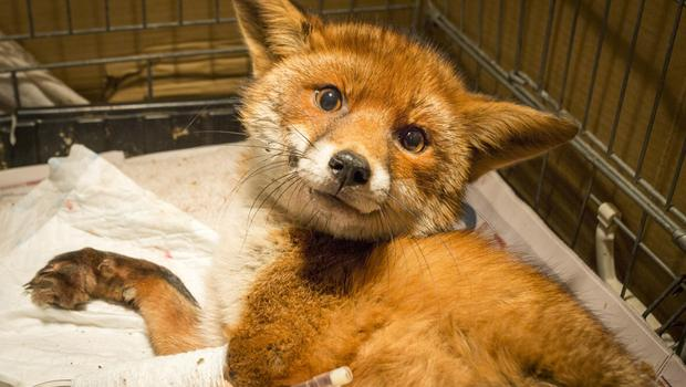 Vixen fox who survived fall