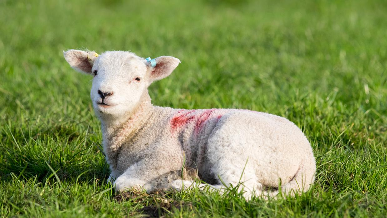 Techniques For Rearing Triplet And Orphan Lambs Farming Independent