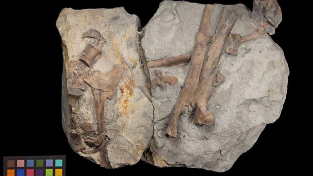 "Undated handout image issued by the National Museum of Wales of the fossilised leg of a newly discovered dinosaur species that dates back 200 million years to the earliest Jurassic period, according to scientists. PRESS ASSOCIATION Photo. Issue date: Tuesday June 9, 2015. The fossilised skeleton of the dog-sized creature, a theropod dinosaur, is described as a cousin of the giant tyrannosaurus rex and is believed to be the earliest specimen of a Jurassic era dinosaur ever to walk the Earth. Described as the ""find of a life-time"" it was discovered on a Welsh beach by two fossil-hunting brothers, Nick and Rob Hanigan after storms in spring 2014. See PA story SCIENCE Dinosaur. Photo credit should read: National Museum of Wales/PA Wire  NOTE TO EDITORS: This handout photo may only be used in for editorial reporting purposes for the contemporaneous illustration of events, things or the people in the image or facts mentioned in the caption. Reuse of the picture may require further permission from the copyright holder."
