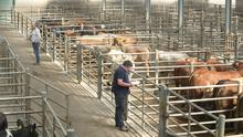 27/4/20 Buyers looks over cattle at Leinster Marts in Carlow, as the marts have had to scale back and reorganise to facilitate sales and adhere to Covid-19 restrictions. Picture:  Finbarr O'Rourke