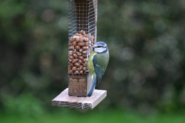Tough guy: Little Blue tits are very territorial