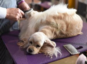 A Cocker Spaniel is seen in the benching area during day two of competition at the Westminster Kennel Club 141st Annual Dog Show in New York on February 14, 2017. / AFP / TIMOTHY A. CLARY
