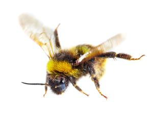 Bees have had a history of problems from disease pandemics to herbicide/pesticide-driven colony collapses