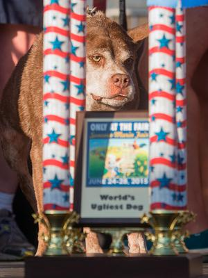 Quasi Modo wins top honors in the World's Ugliest Dog Contest at the Sonoma-Marin Fair on Friday, June 26, 2015, in Petaluma, Calif. Quasi Modo's owners, who travelled from Florida to compete, will receive $1500. (AP Photo/Noah Berger)
