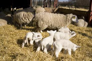 Lambing is just four weeks away. Photo: Getty Images.