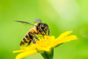 Bee minus: The number of pollinators is continuing to fall