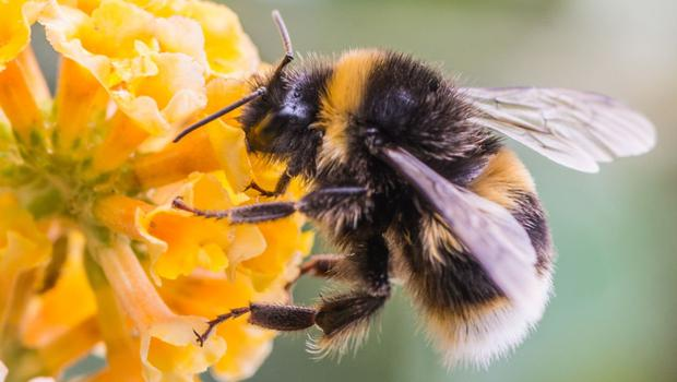Busy bee: Bumblebees are the most important pollinators and numbers have plummeted in recent years