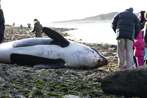 31/01/2015. A 16ft Killer Whale washed ashore at Saleens Beach, Tramore, Co Waterford. Picture: Patrick Browne