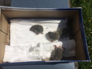 A litter of hedgehogs who had been attacked by dogs. Photo: Hedgehog Rescue Dublin