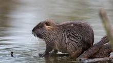 A coypu living in the wild Credit: PA