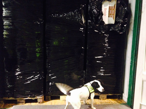 Sniffer dog Casey with the cigarettes container seized yesterday.