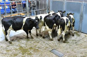 Breed FR. Sex M. Weight 390 Kg. DOB 224/04/19. Sold for €690 euro each.