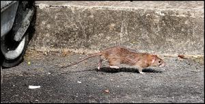 The weather this winter wasn't cold enough to reduce rat numbers