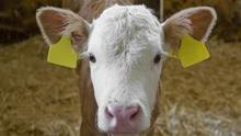 """It could be """"very dangerous indeed"""" to get close to a calfwhile the mother was in the vicinity.Stock photo."""