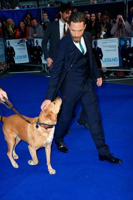"""Tom Hardy and his dog Woody attend the UK Premiere of """"Legend"""" at Odeon Leicester Square on September 3, 2015 in London, England.  (Photo by Dave J Hogan/Getty Images)"""