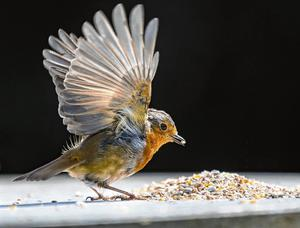 Dinner time: A robin feeding on some seed left out in a garden in Dundalk. Ireland looks set for a fine bank holiday weekend. Photo: Arthur Carron