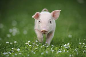 Pig producers are under enormous financial strain, says the IFA