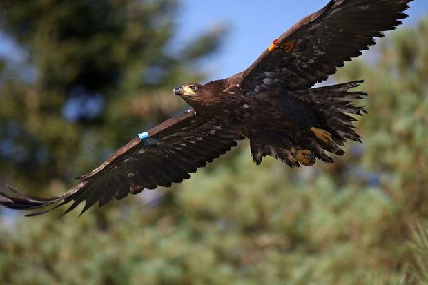 Eddie, who left his nest in late 2016, was last seen in June this year. Photo: Valerie O'Sullivan via Glengarriff Woods Nature Reserve.