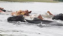 The cows on their pilgrimage