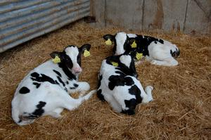 It has been a challenging market for dairy calves recently